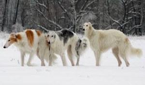 русские псовые борзые